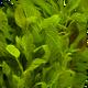 Thotakura Leaf Organic 2 bunches