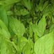 Gongura Leaf Organic 2 bunches